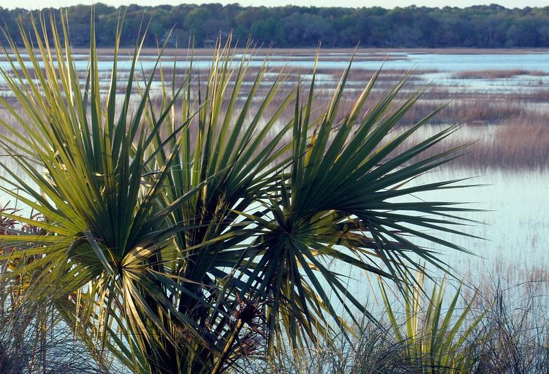 Palmetto beside Calibogue Sound