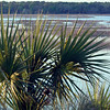 Palmetto beside Calibogue Sound