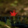 Red Flower_0249