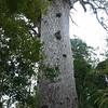 Tane Mahuta Kauri Waipoua Forest