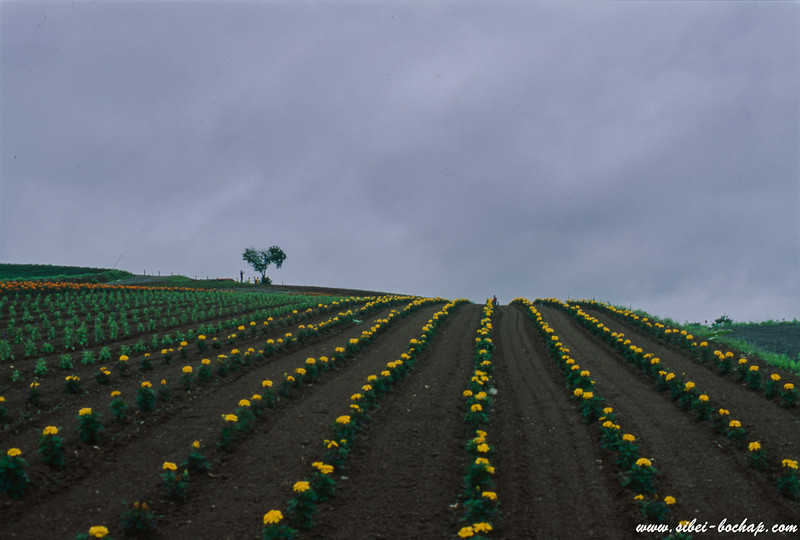 Velvia 50 - rows of budding flowers