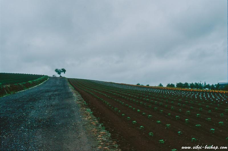Velvia 50 - Furano flower fields