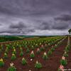Furano flower fields