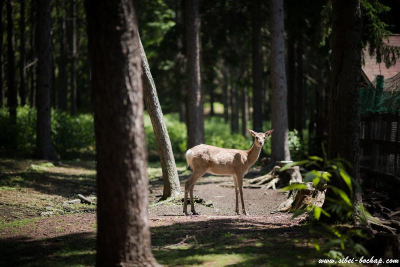 meet doe, a deer, at Nakajima Island