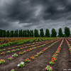 Farm Tomita, more flowers