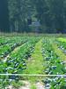nc holden farms 011