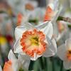 One of so many beautiful varieties of daffodil at  Keukenhof -<br />  April 15, 2015.