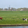 Classic Holland: cows, dike, bicycle, old and new windmills.