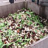Tulip Farm - bulbs are composted after removal of the flower stem