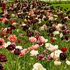Holland In Bloom ShearingsHollidays