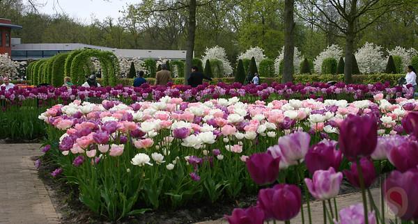 keukenhof tulip garden  : Holland