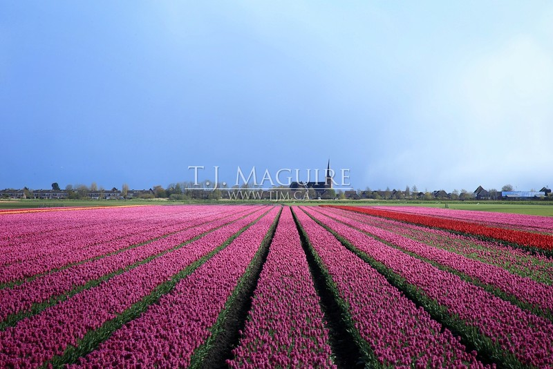 Purple Rain, West Friesland, Holland