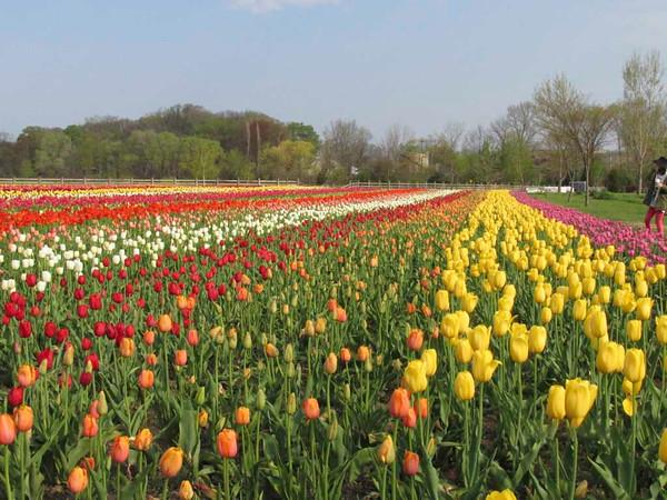 Veldheer Tulip Farm.