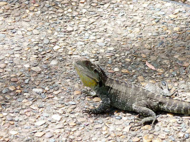 Water dragon ... kinda like a really big iguana with an attitude.