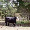 Cow.  I like cows.