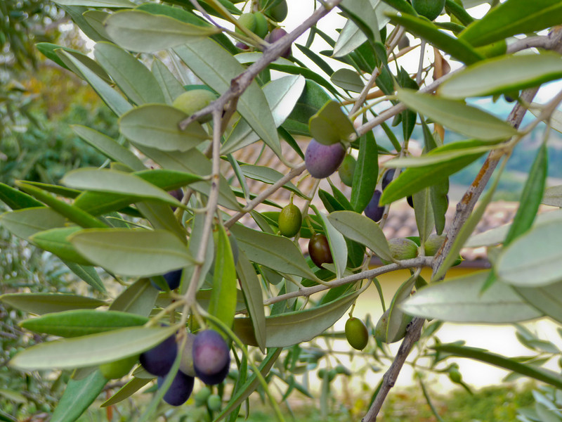 Olive trees at Casale Santa Brigida.