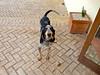 Pipo the resident hound dog at Casale Santa Brigida.