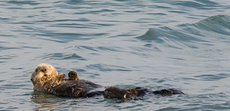 Watjulookinat???<br /> <br /> Sea otter  off Homer Spit, Kachemak Bay AK  Photo by Michael Sharp