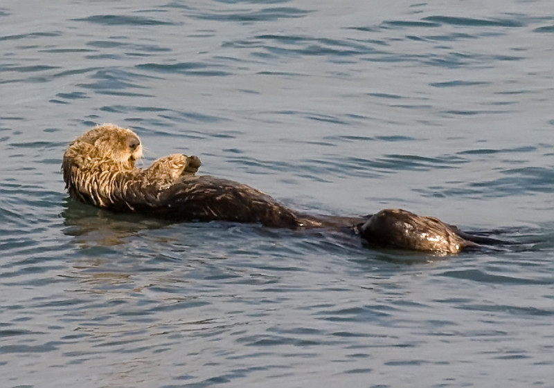 Ah, jus loooooves these sunny afternoons!<br /> <br /> Sea otter off Homer Spit, Kachemak Bay, Homer   Alaska   Photo by Michael Sharp