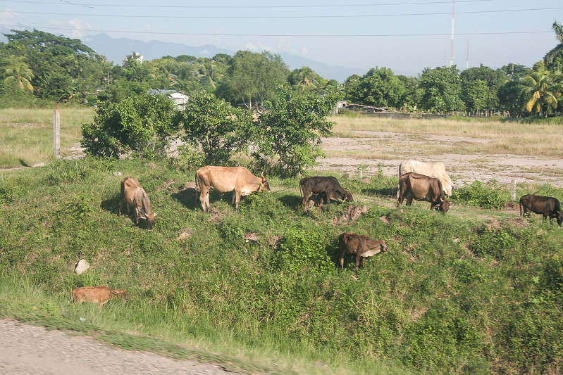 Forget about having your livestock graze in the fields; the side of the road is so much better!