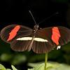 Honduras 2014:  Rio Cangrejal - Crimson-patched Longwing (Nymphalidae: Heliconiinae: Heliconiini: Heliconius erato petiverana)