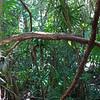 Honduras 2014: Cayos Cochinos - Pink Boa (Boidae: Boinae: Boa constrictor imperator)