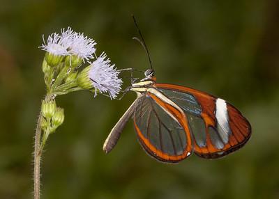 Honduras 2015: Rio Cangrejal (Fauna and Flora - identifications incomplete)