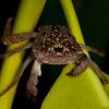 Honduras 2016: Roatan - Mangrove Tree Crab (Sesarmidae: Aratus pisonii)