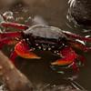 Honduras 2016: Roatan - Red Mangrove Root Crab (Grapsidae: Goniopsis cruentata)