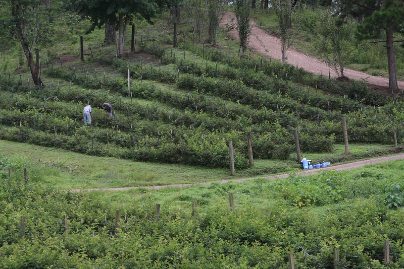 Blackberry fields.