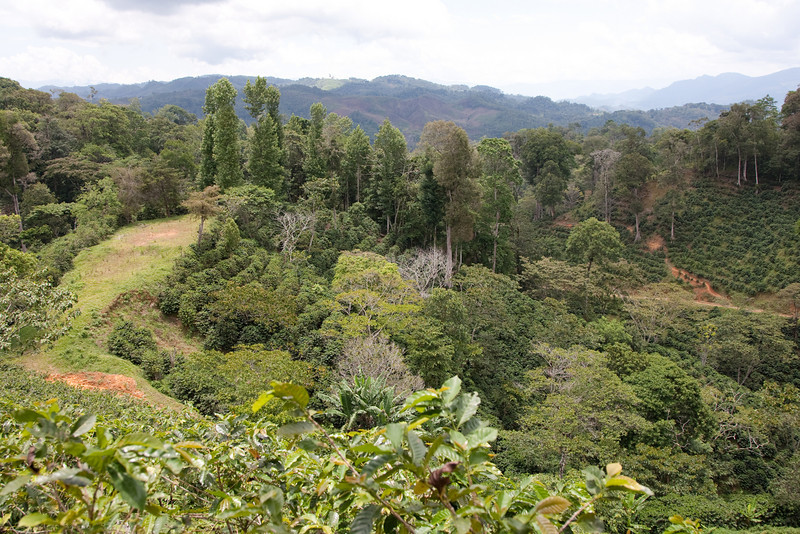 coffee plantation at Finca el Cisne, Copan, Honduras, the hills in the background are already in Guatemala