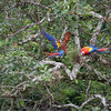a bonded pair of Scarlet Macaws hanging out in the trees above the ruins in Copan, Copan Ruinas, Honduras