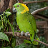 a local resident at Macaw Mountain Bird Park, Copan, Honduras