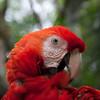 Scarlet Macaw, Macaw Mountain, Copan, Honduras