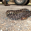 bushmaster, barba amarilla, the workers get paid to kill these snakes