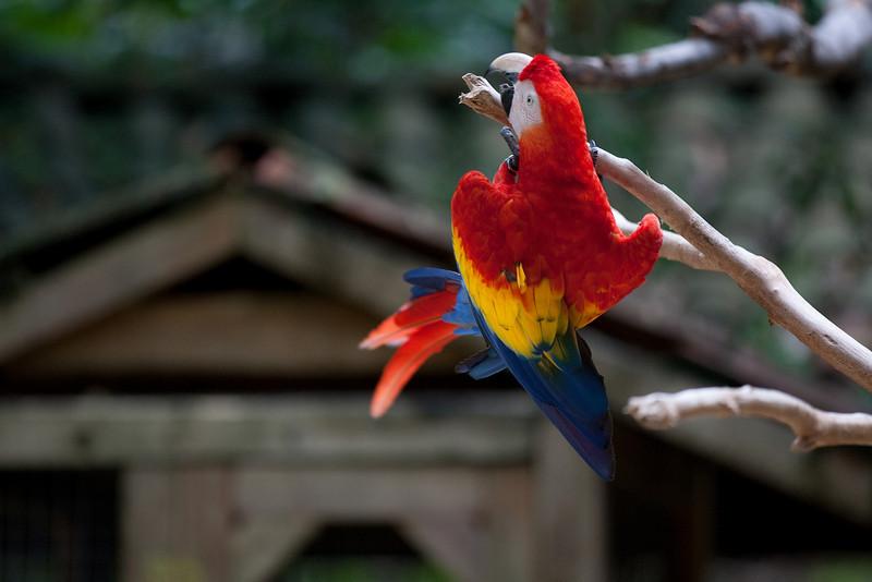 Scarlet Macaw, Macaw Mountain Bird Park, Copan Honduras