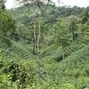 coffee plantation, Finca el Cisne, Copan, Honduras