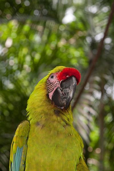 Buffon's Macaw, Macaw Mountain, Copan, Honduras