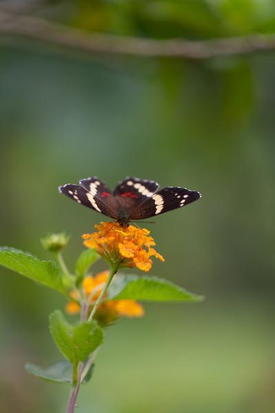 an early morning butterfly encounter, Finca El Cisne, Copan, Honduras