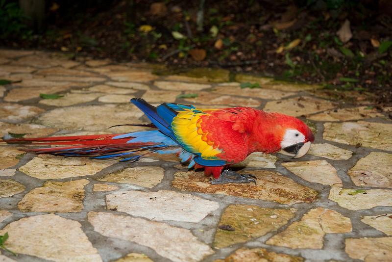 Scarlet Macaw, Macaw Mountain Bird Park, Copan, Honduras