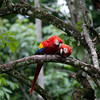 A bonded pair of Scarlet Macaws, Copan Ruinas, Honduras