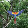 Scarlet Macaw in flight, Copan, Copan Ruinas, Honduras