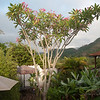 Plumeria at the garden, Casa de Cafe, Copan