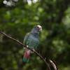Pionus, Macaw Mountain Bird Park, Copan, Honduras