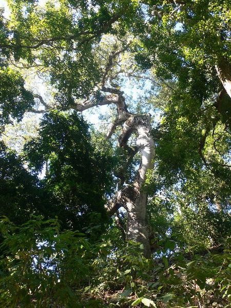 Ceiba tree, Copan, Honduras