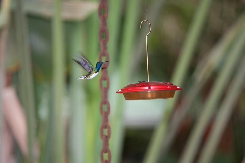 A hummingbird at the back porch at The Lodge at Pico Bonito, Honduras