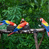 Some semi wild Scarlet Macaws. These birds are being established as a wild flock at the Copan archaeological site.