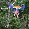 Scarlet Macaw flairing out. Copan, Copan Ruinas, Honduras