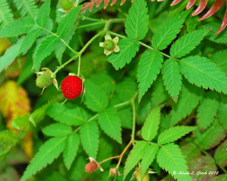 We were able to have a small snack on wild raspberries before hiking.  They were similar to the ones we have around here in the States, but still different in a couple ways