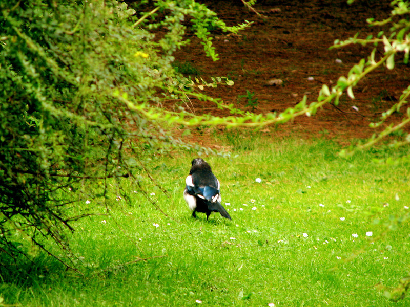 Sneaky magpie kept trying to run away from my camera Edinburgh Botanical Gardens